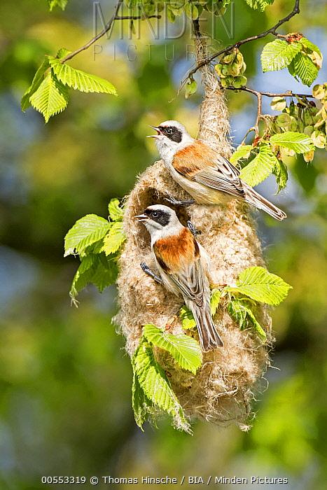 Eurasian Penduline-Tit (Remiz pendulinus) pair calling at nest, Saxony-Anhalt, Germany  -  Thomas Hinsche, BIA
