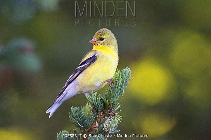 American Goldfinch (Carduelis tristis) female, Canada