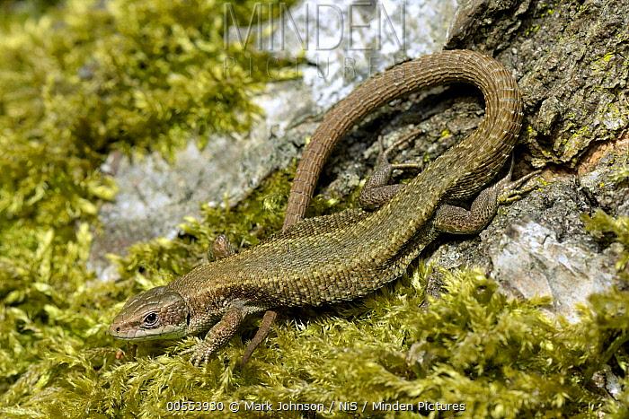 Viviparous Lizard (Zootoca vivipara), Lincolnshire, England