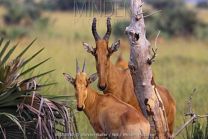 Lichtenstein's Hartebeest (Alcelaphus lichtensteinii) pair, Murchison Falls National Park, Uganda