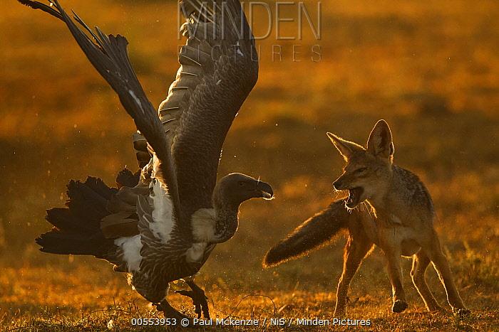 Black-backed Jackal (Canis mesomelas) fighting with White-backed Vulture (Gyps africanus), Masai Mara, Kenya