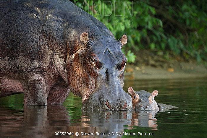 Hippopotamus (Hippopotamus amphibius) mother nuzzling calf in water, Uganda