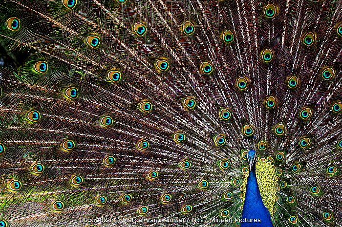 Indian Peafowl (Pavo cristatus) male displaying, Firesland, Netherlands