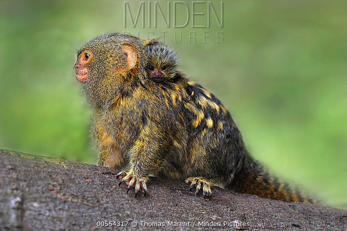 Pygmy Marmoset (Cebuella pygmaea) mother with baby, Amacayacu National Park, Colombia