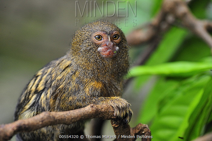 Pygmy Marmoset (Cebuella pygmaea), Amacayacu National Park, Colombia