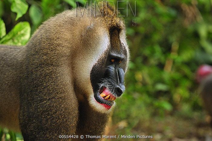 Drill (Mandrillus leucophaeus) male in defensive posture, Afi Mountain Wildlife Sanctuary, Nigeria