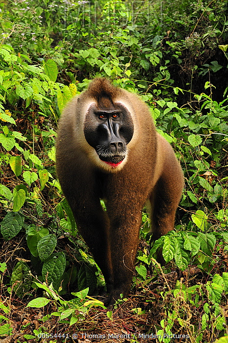 Drill (Mandrillus leucophaeus) male in rainforest, Afi Mountain Wildlife Sanctuary, Nigeria