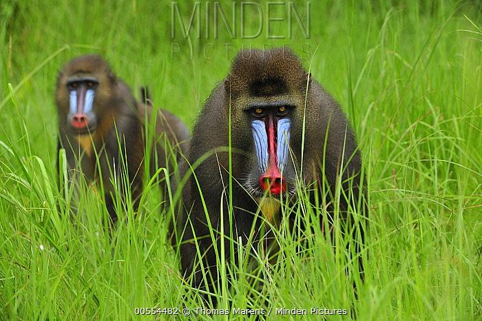 Mandrill (Mandrillus sphinx) males in tall grass, Lekedi Natural Preserve, Gabon