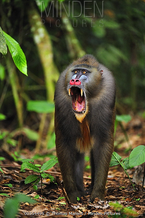 Mandrill (Mandrillus sphinx) male in defensive posture, Lekedi Natural Preserve, Gabon