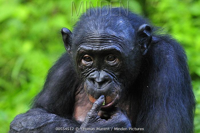 Bonobo (Pan paniscus), Lola Ya Bonobo Sanctuary, Democratic Republic of the Congo