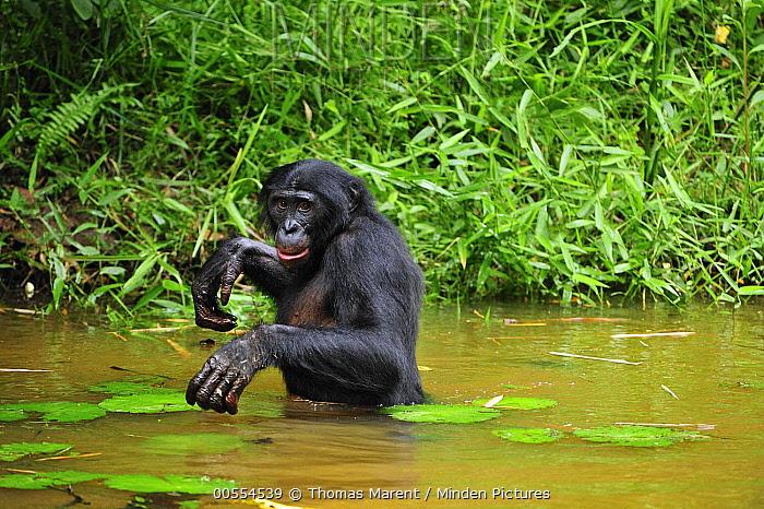Bonobo (Pan paniscus) walking through water, Lola Ya Bonobo Sanctuary, Democratic Republic of the Congo