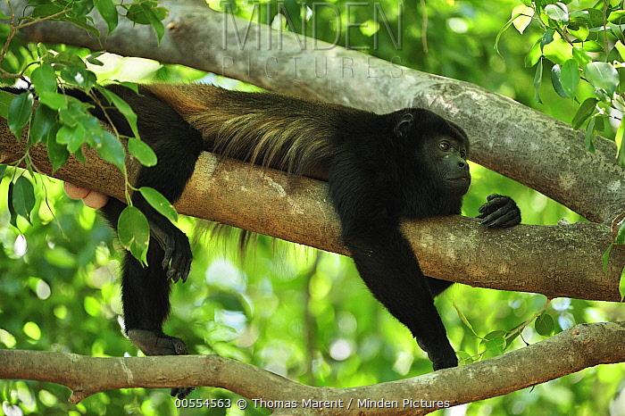 Mantled Howler Monkey (Alouatta palliata), Cahuita National Park, Costa Rica