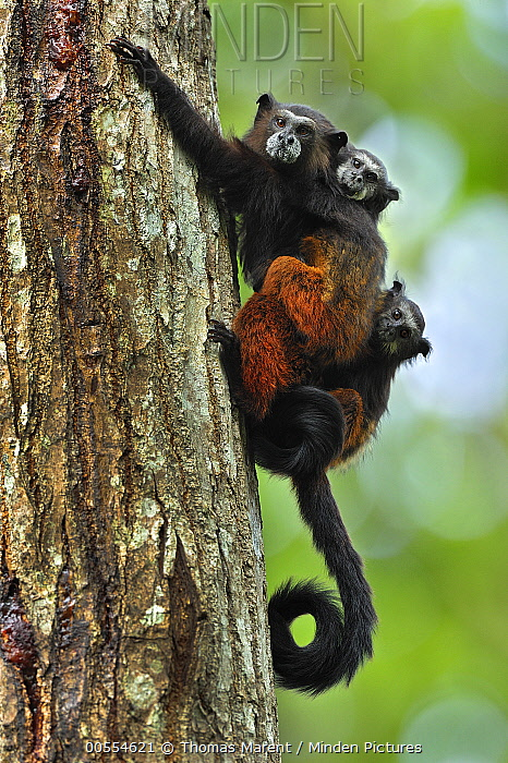 Saddle-back Tamarin (Saguinus fuscicollis) mother with young, Tambopata-Candamo Nature Reserve, Peru
