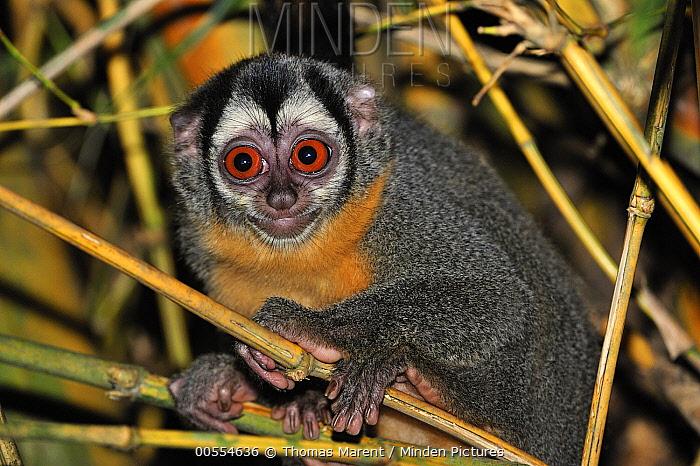 Black-headed Night Monkey (Aotus nigriceps) at night, Tambopata-Candamo Nature Reserve, Peru