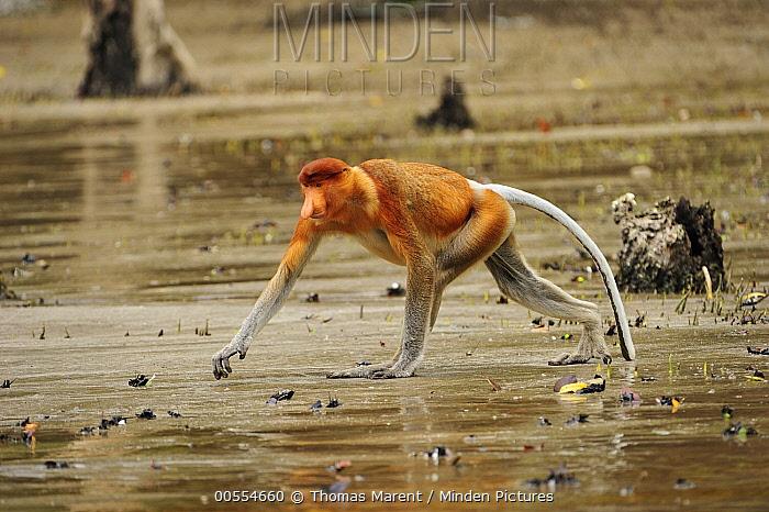 Proboscis Monkey (Nasalis larvatus) male in magrove swamp at low tide, Bako National Park, Sarawak, Borneo, Malaysia