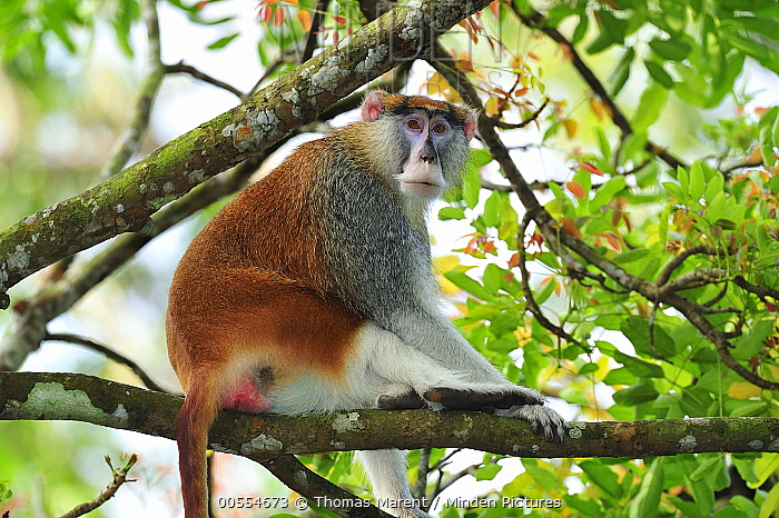 Patas Monkey (Erythrocebus patas) male, native to Africa