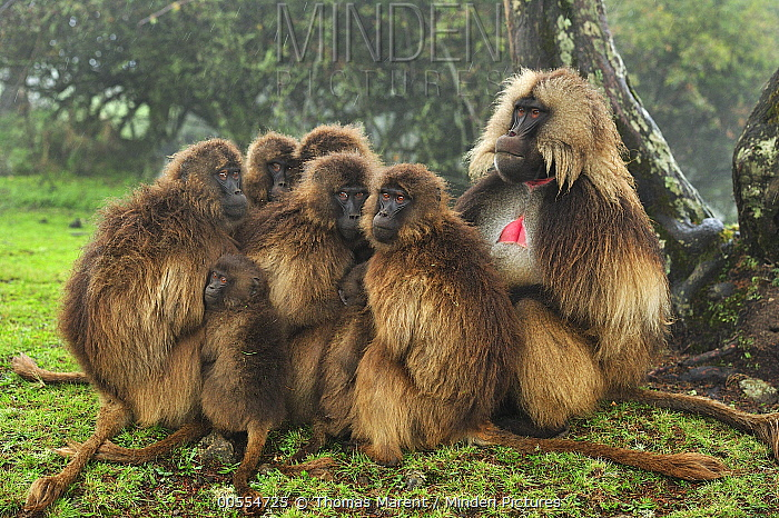 Gelada Baboon (Theropithecus gelada) male and females huddling for warmth, Simien Mountains National Park, Ethiopia