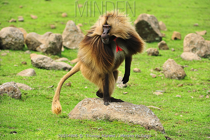 Gelada Baboon (Theropithecus gelada) male, Simien Mountains National Park, Ethiopia