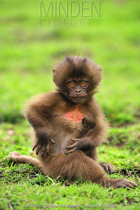 Gelada Baboon (Theropithecus gelada) young, Simien Mountains National Park, Ethiopia