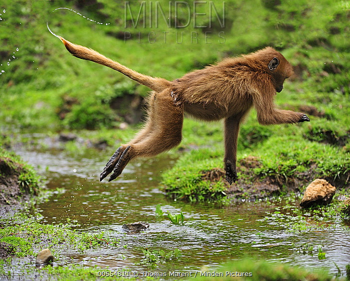 Gelada Baboon (Theropithecus gelada) jumping over water, Simien Mountains National Park, Ethiopia
