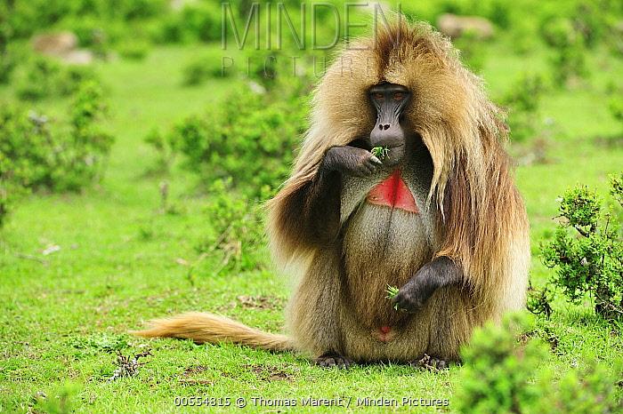 Gelada Baboon (Theropithecus gelada) male grazing, Simien Mountains National Park, Ethiopia
