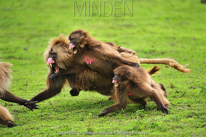 Gelada Baboon (Theropithecus gelada) group in territoral fight, Simien Mountains National Park, Ethiopia
