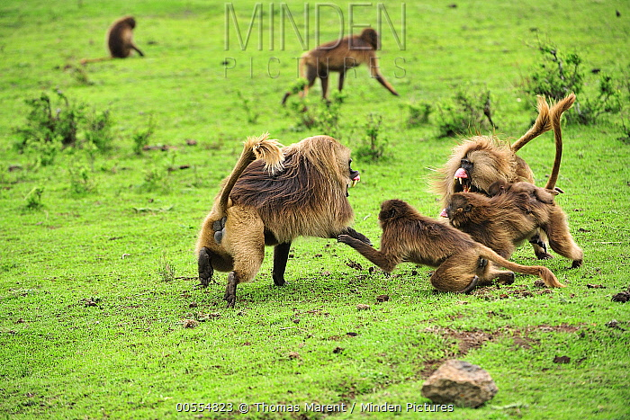 Gelada Baboon (Theropithecus gelada) group in territoral fight, Simien Mountains National Park, Ethiopia, sequence 1 of 4