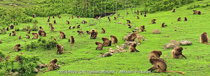 Gelada Baboon (Theropithecus gelada) troop in highlands, Simien Mountains National Park, Ethiopia