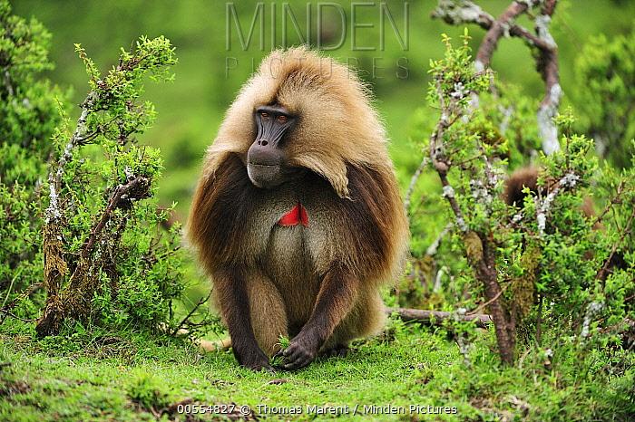 Gelada Baboon (Theropithecus gelada) male, Simien Mountains National Park, Ethiopia