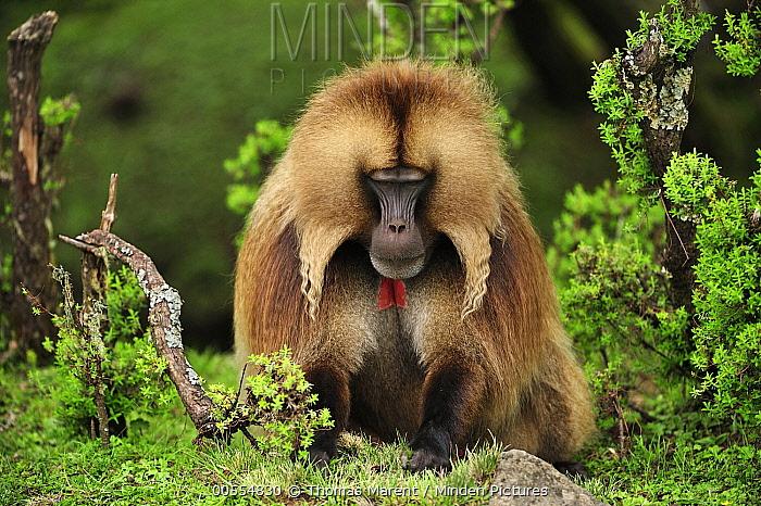 Gelada Baboon (Theropithecus gelada) male foraging, Simien Mountains National Park, Ethiopia