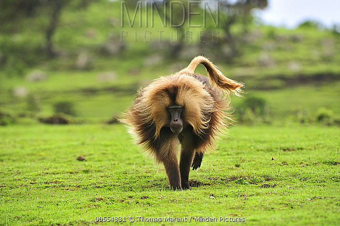 Gelada Baboon (Theropithecus gelada) male running, Simien Mountains National Park, Ethiopia