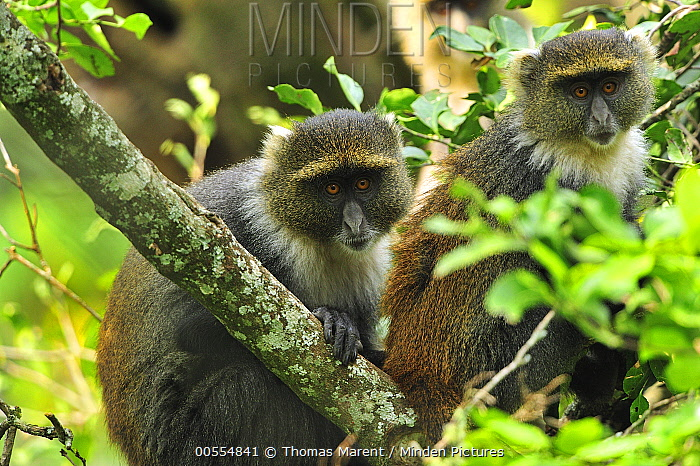 Sykes Monkey (Cercopithecus albogularis) pair, Mount Kenya National Park, Kenya