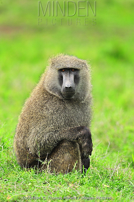 Olive Baboon (Papio anubis), Sweetwaters Game Reserve, Kenya