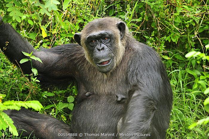 Eastern Chimpanzee (Pan troglodytes schweinfurthii), Sweetwaters Game Reserve, Kenya