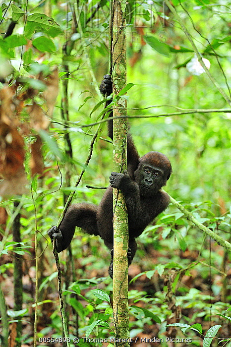 Western Lowland Gorilla (Gorilla gorilla gorilla) young climbing tree, Nouabale-Ndoki National Park, Republic of Congo