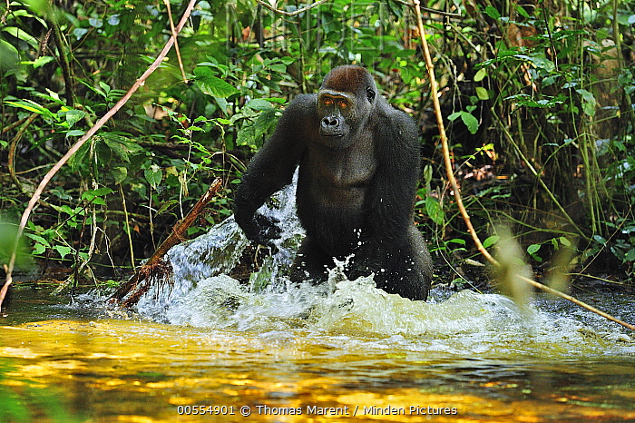 Western Lowland Gorilla (Gorilla gorilla gorilla) playing with water, Nouabale-Ndoki National Park, Republic of Congo