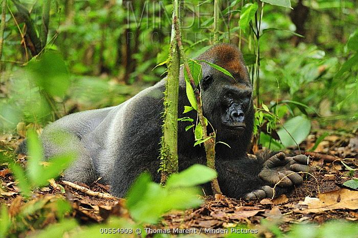 Western Lowland Gorilla (Gorilla gorilla gorilla) silverback, Nouabale-Ndoki National Park, Republic of Congo