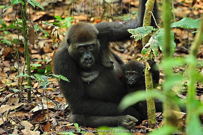 Western Lowland Gorilla (Gorilla gorilla gorilla) mother with young, Nouabale-Ndoki National Park, Republic of Congo