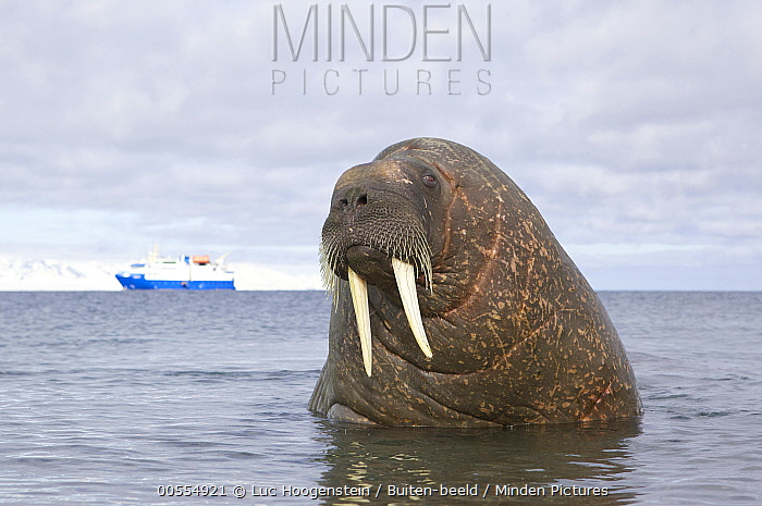 Walrus (Odobenus rosmarus) and ship, Norway