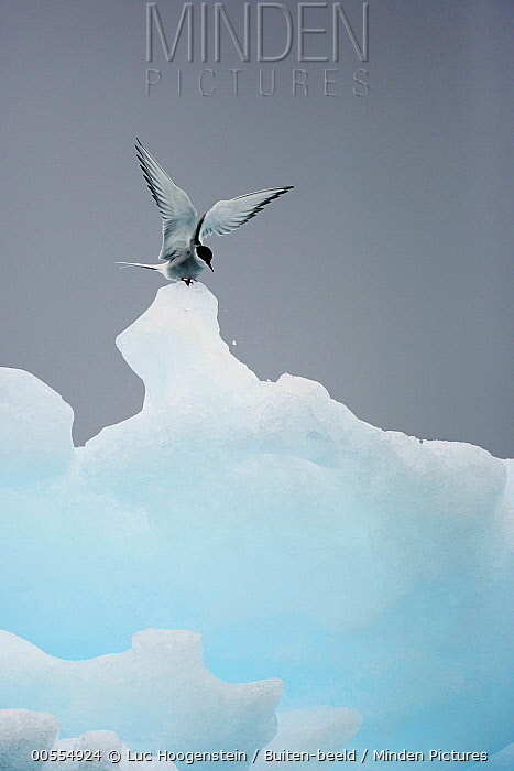 Arctic Tern (Sterna paradisaea) landing on ice, Norway
