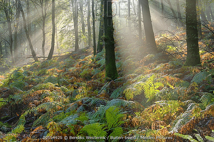 Deciduous forest, Veluwezoom National Park, Gelderland, Netherlands