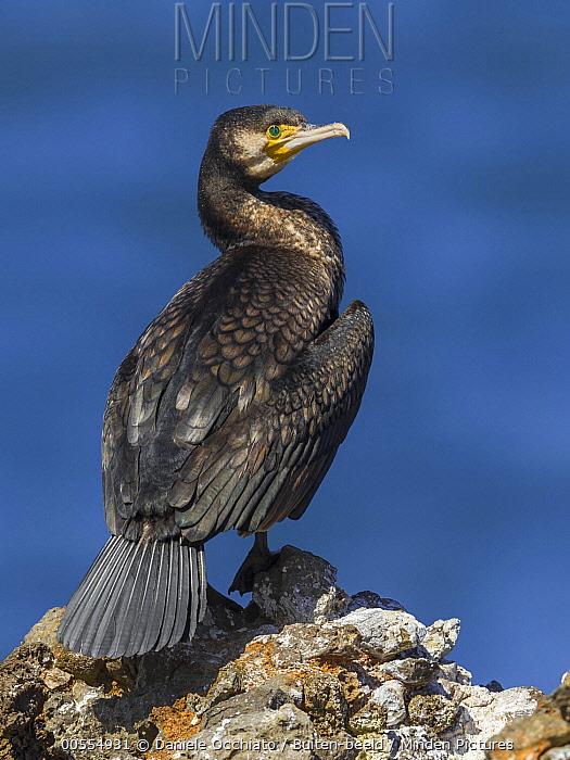 Great Cormorant (Phalacrocorax carbo), Spain