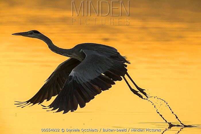 Grey Heron (Ardea cinerea) taking flight, Italy
