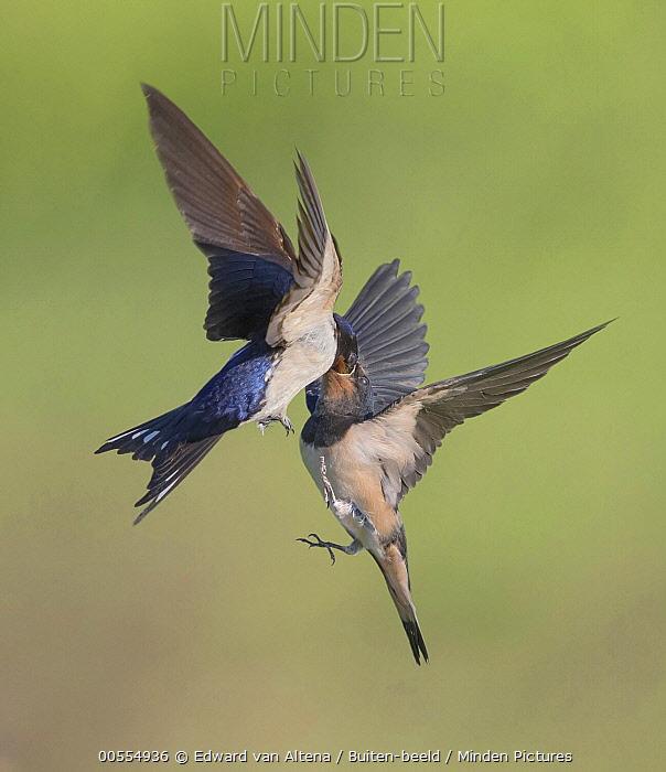 Barn Swallow (Hirundo rustica) pair transferring food in flight, Netherlands