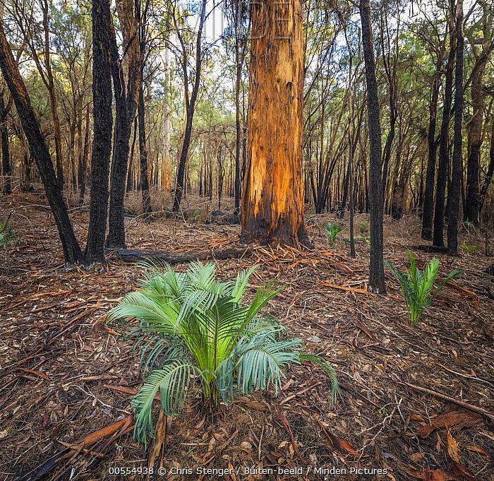 Karri (Eucalyptus diversicolor) emerging after forest fire, Australia