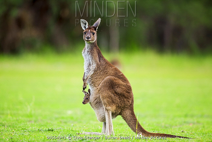 Western Grey Kangaroo (Macropus fuliginosus) mother with joey in pouch, Australia