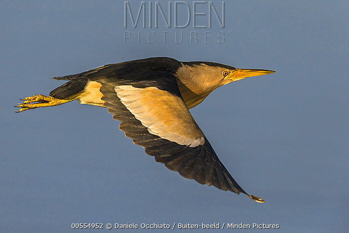 Little Bittern (Ixobrychus minutus) flying, Italy