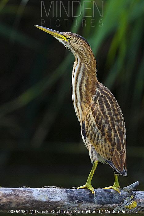 Little Bittern (Ixobrychus minutus), Italy