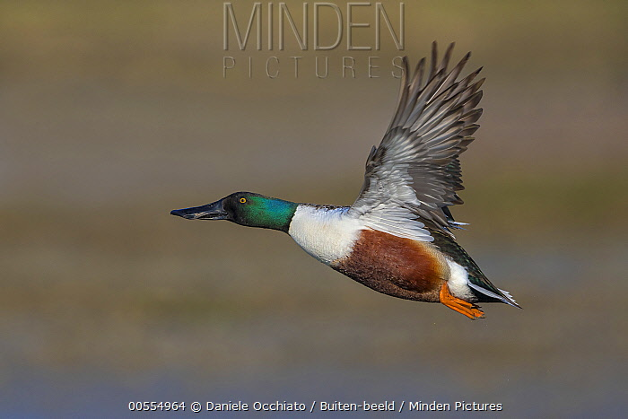 Northern Shoveler (Anas clypeata) drake flying, Italy