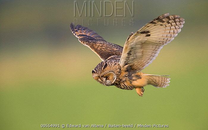 Long-eared Owl (Asio otus) hunting, Netherlands